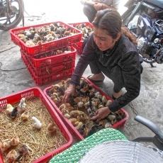 Distribution de poussins